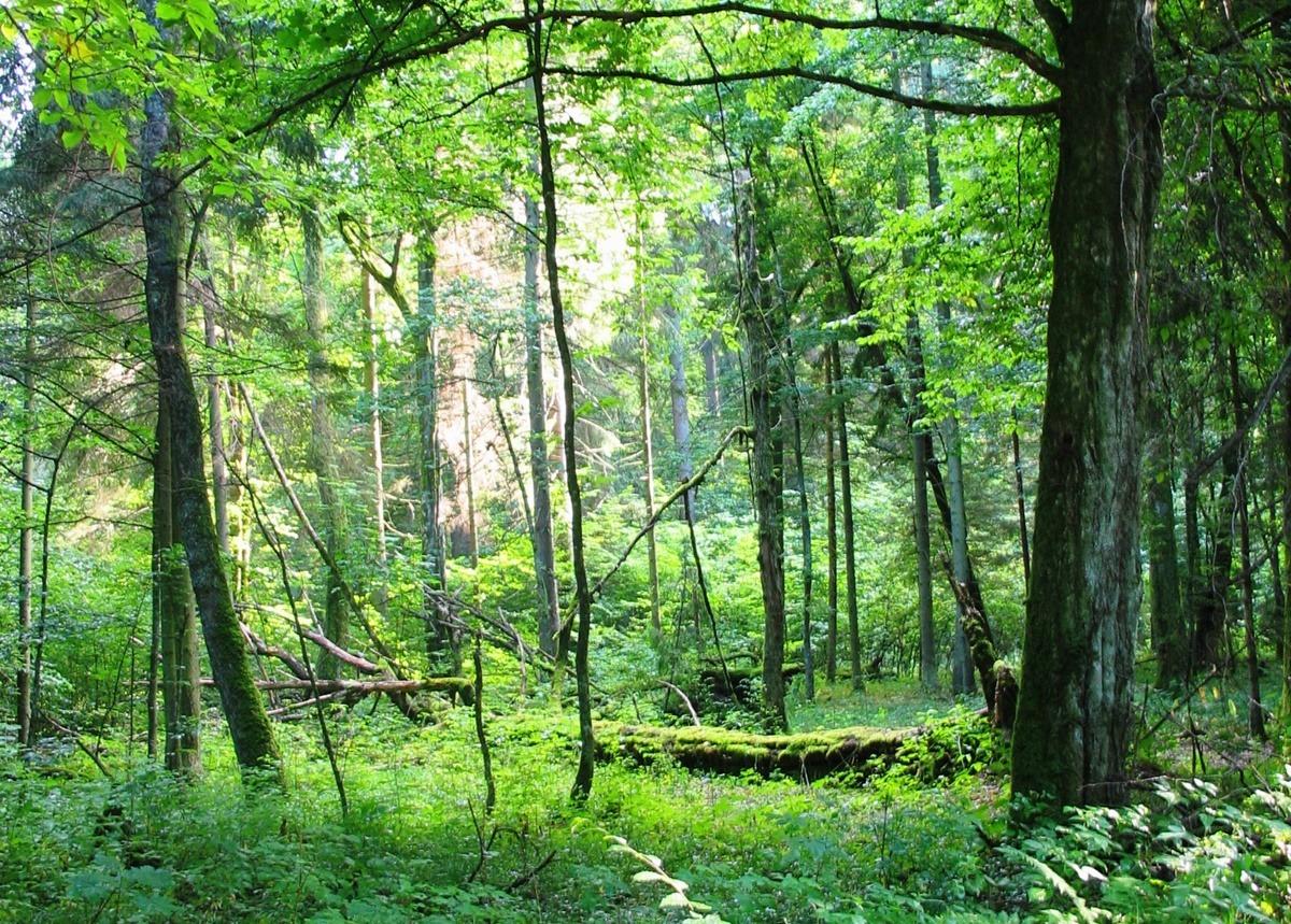 Puszcza Białowieska las Białowieża Park narodowy rezerwat przewrócone drzewa
