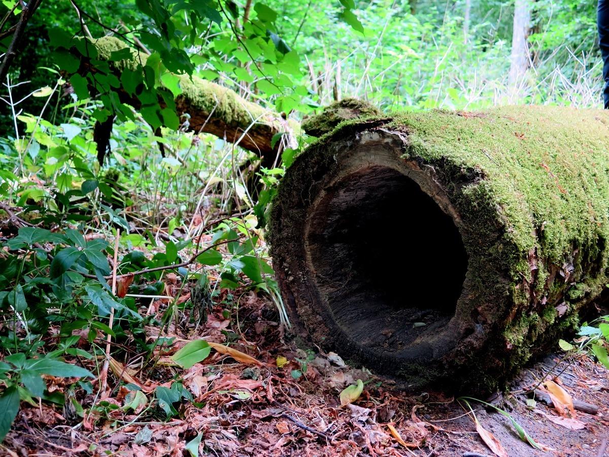lipa pusty pień drzewa kłoda