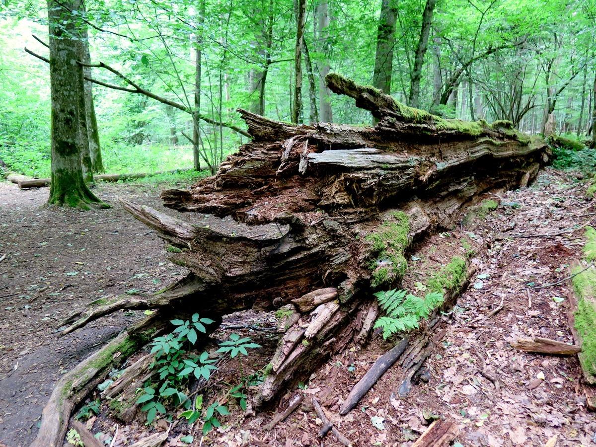 przewrócone drzewo pien martwe drewno w lesie Dąb Jagiełły w rezerwacie okręgu ochrony ścisłej Białowieskiego Parku Narodowego
