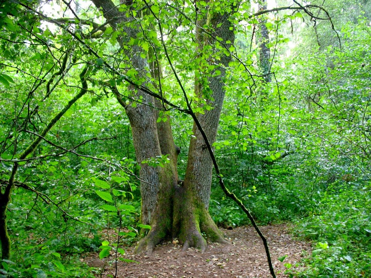 białowieża miejsce mocy potrójny pień drzewa