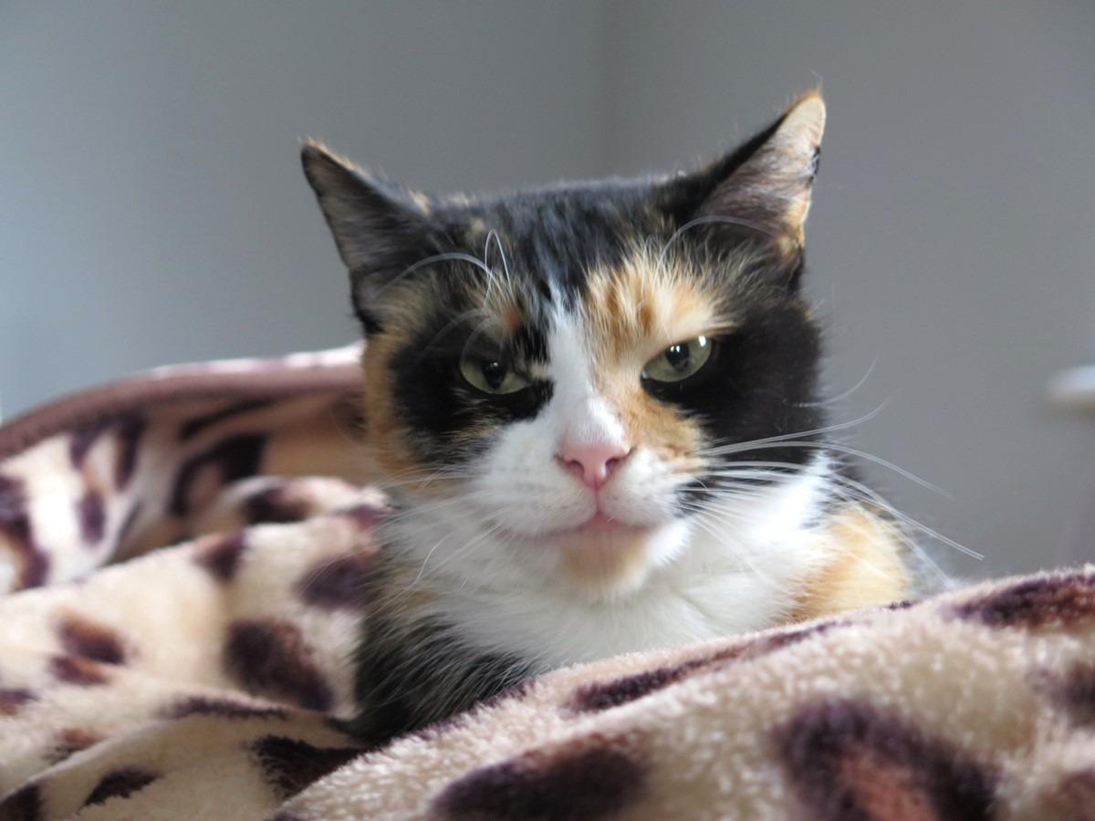 kot Bułka szylkretowy